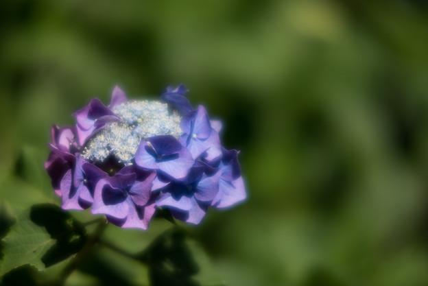 薬師池公園【紫陽花:ブルースカイ】3