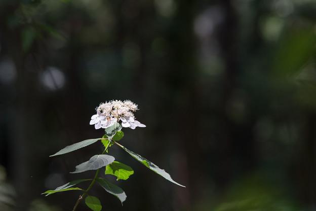 薬師池公園【紫陽花:ガクアジサイ】5
