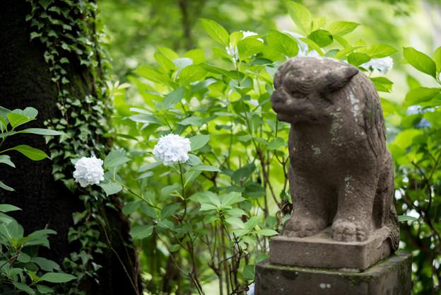 浄慶寺【狛犬と紫陽花】