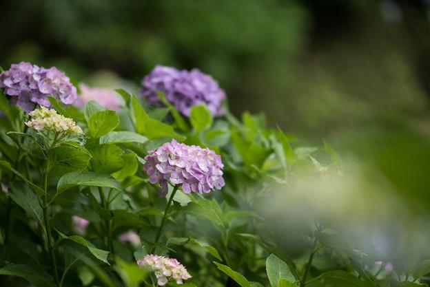 浄慶寺【紫陽花:紫色アジサイ】