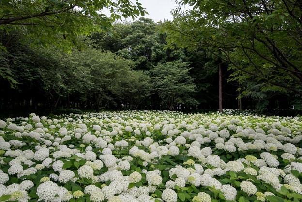 相模原北公園【紫陽花:アナベル】1