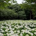 写真: 相模原北公園【紫陽花:アナベル】1