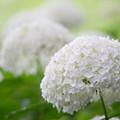 写真: 相模原北公園【紫陽花:アナベル】6