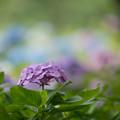 写真: 相模原北公園【紫陽花:西洋アジサイ】4