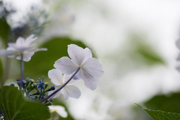 相模原北公園【紫陽花:ミハラヤエ】4