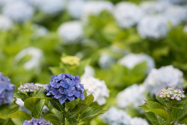 相模原北公園【紫陽花:ハルナ】