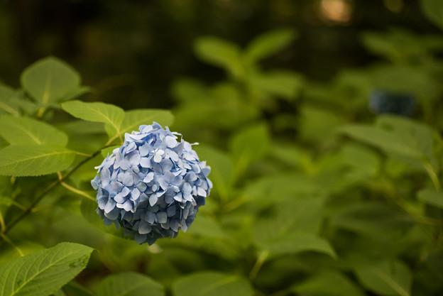 写真: 相模原北公園【紫陽花:ヒメアジサイ】