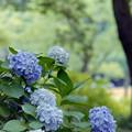 生田緑地のあじさい山【紫陽花】1-4