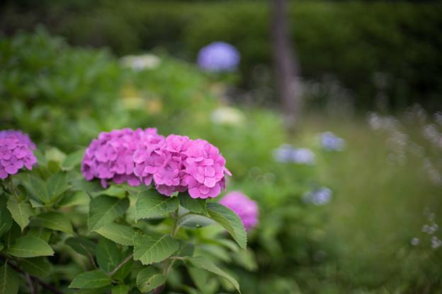 生田緑地のあじさい山【紫陽花】1-7