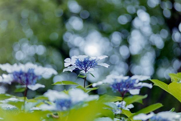 生田緑地のあじさい山【紫陽花】2-4