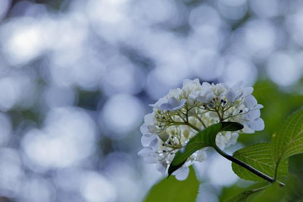 生田緑地のあじさい山【紫陽花】2-5