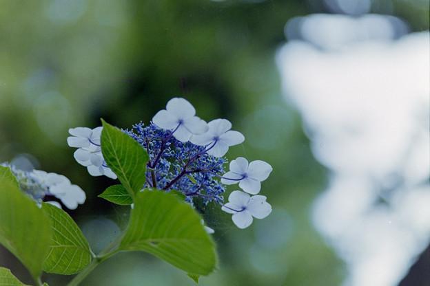 生田緑地のあじさい山【紫陽花】2-6