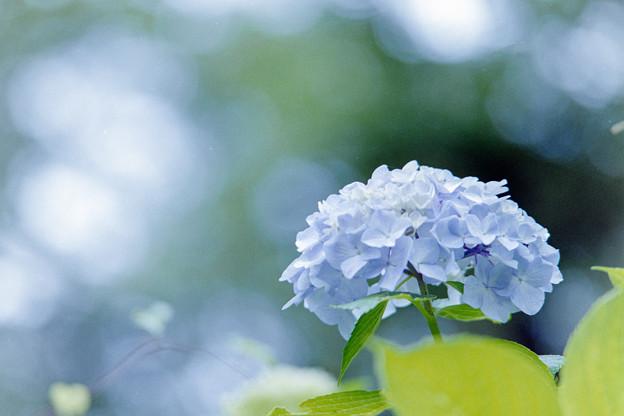 生田緑地のあじさい山【紫陽花】2-7