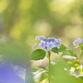 昭和記念公園【紫陽花:ガクアジサイ】6