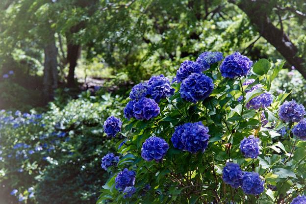 昭和記念公園【紫陽花:青系アジサイ】2