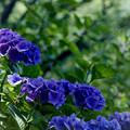 昭和記念公園【紫陽花:紫系アジサイ】2