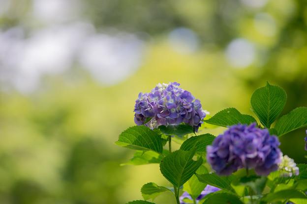 昭和記念公園【紫陽花:紫系アジサイ】4