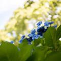 昭和記念公園【紫陽花:ブラウリング】1