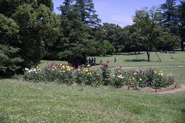 昭和記念公園【ダリアの庭】