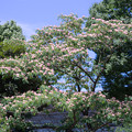 昭和記念公園【ネムノキ】1