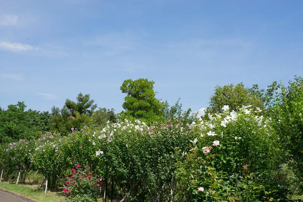 花菜ガーデン【「槿花の小径」の様子】