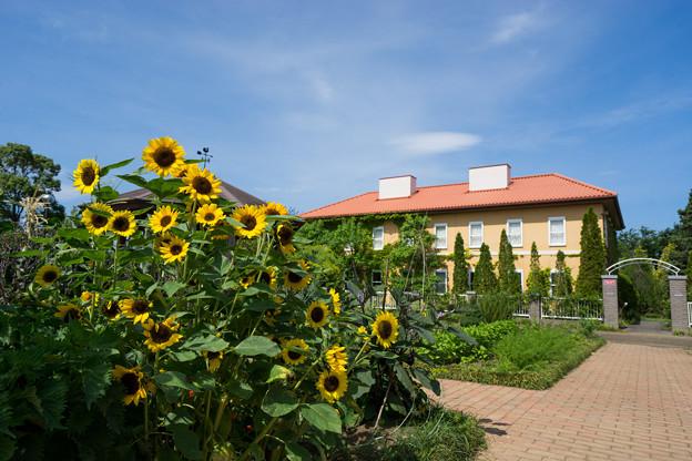 花菜ガーデン【「チャペックの家」とヒマワリ】