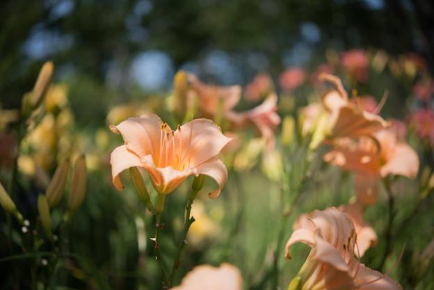 花菜ガーデン【ヘメロカリス】1
