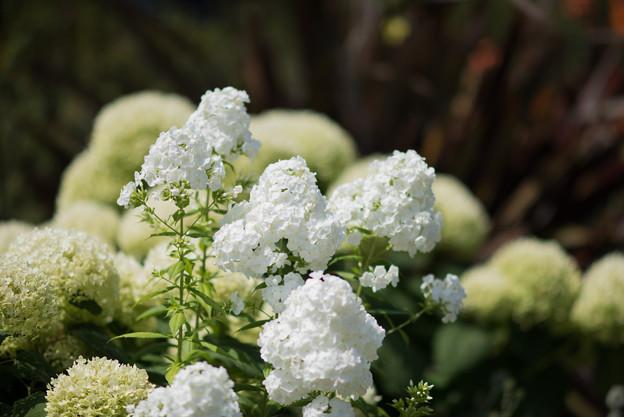 花菜ガーデン【フロックス】