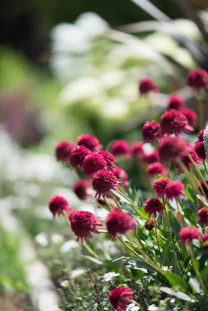 花菜ガーデン【エキナセア:スイートシックスティーン】
