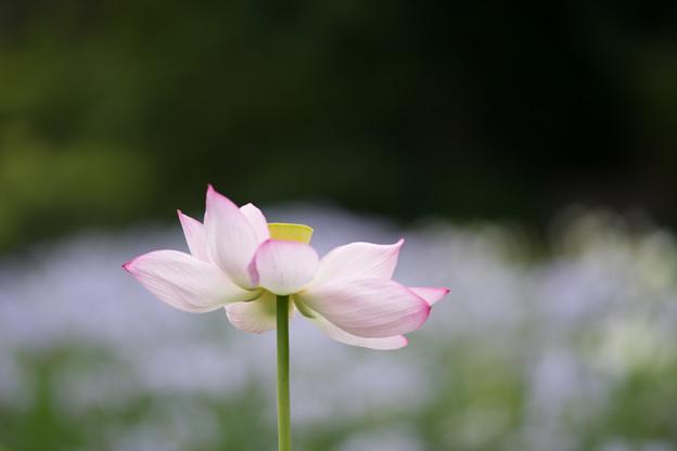 大船フラワーセンター【蓮の花】1