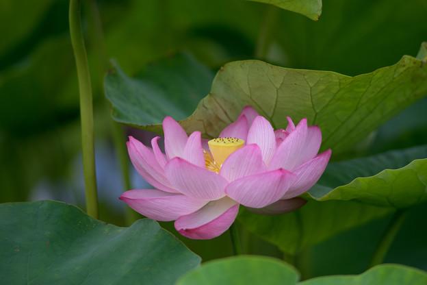 大船フラワーセンター【蓮の花】4