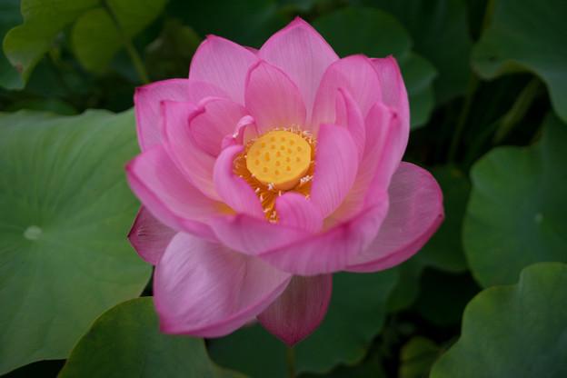 大船フラワーセンター【蓮の花】5