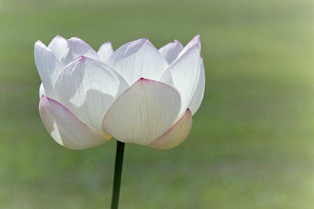 神代植物公園【蓮の花:瑞光蓮】