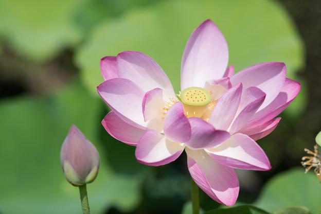 神代植物公園【蓮の花:玄武湖紅】