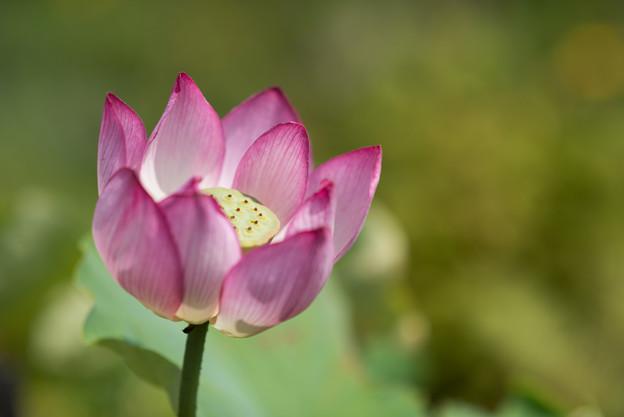 神代植物公園【蓮の花:蜀紅蓮】2