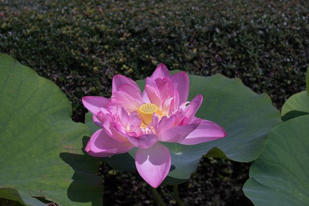 神代植物公園【蓮の花:紅万々】