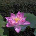 Photos: 神代植物公園【蓮の花:紅万々】