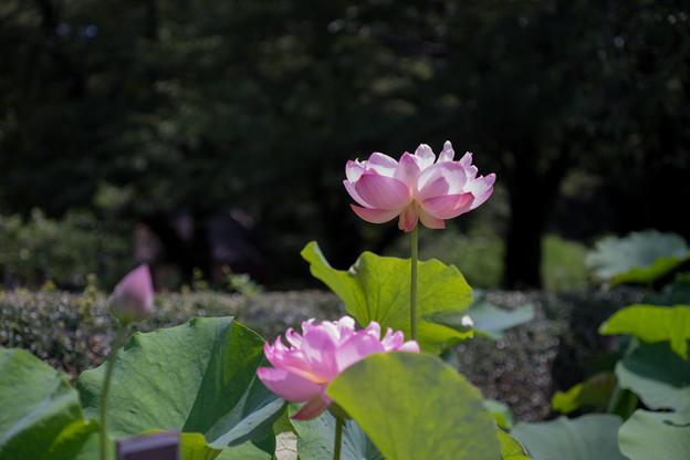 神代植物公園【蓮の花:品種不明】