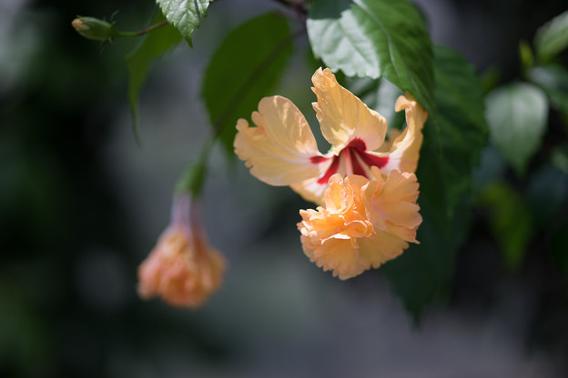 神代植物公園【温室の花:コロカシア・ファラックス】
