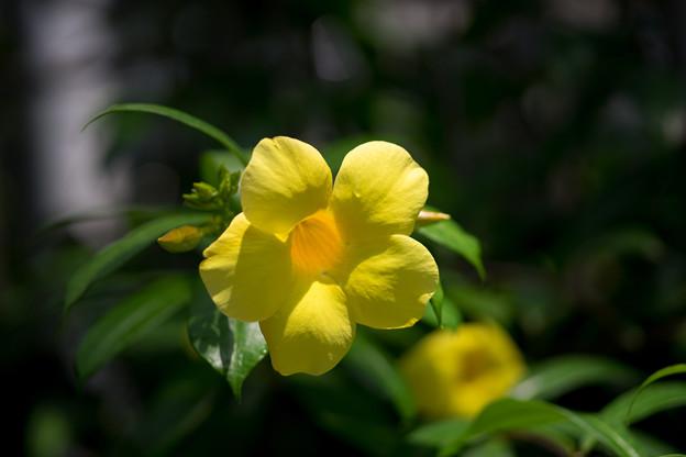 神代植物公園【温室の花:アリアケカズラ】
