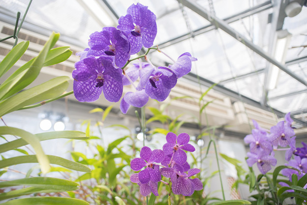 神代植物公園【温室の花:ラン】