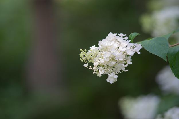 神代植物公園【ノリウツギ】