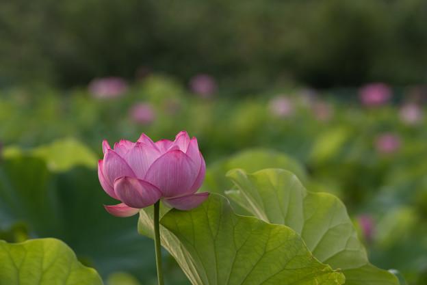 小山田神社【大賀蓮】2-1