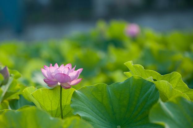 小山田神社【大賀蓮】3-5
