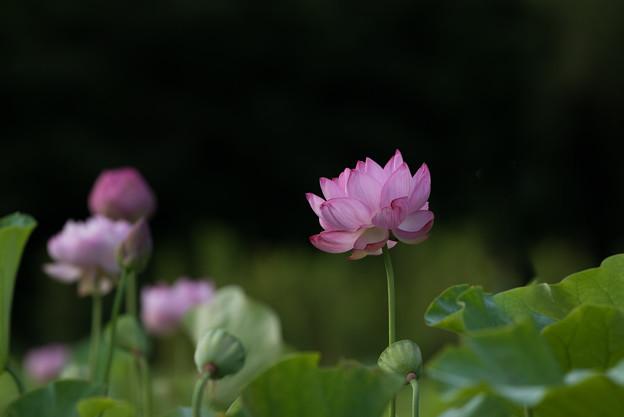 中井蓮池の里【蓮の花】1-3