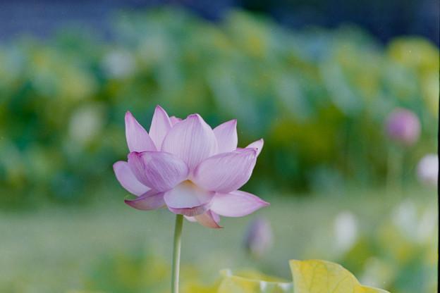 中井蓮池の里【蓮の花】1-4