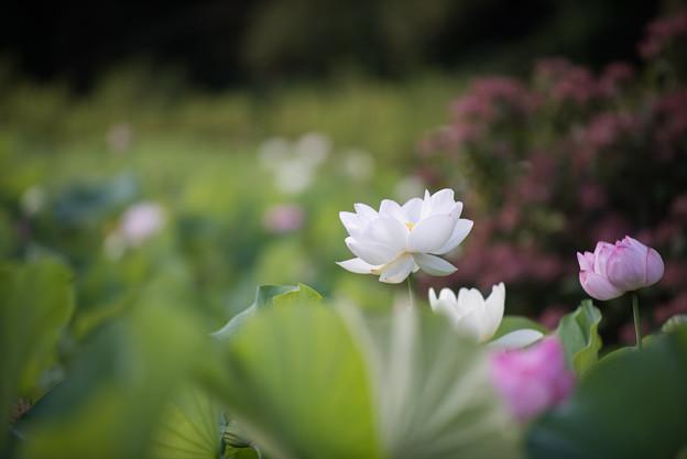 中井蓮池の里【蓮の花】1-5