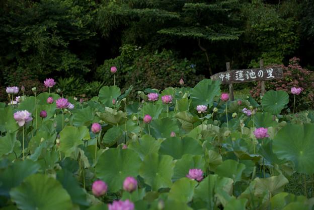 写真: 中井蓮池の里【蓮の花】2-1