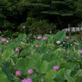 Photos: 中井蓮池の里【蓮の花】2-1