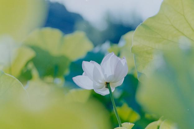 中井蓮池の里【蓮の花】2-5